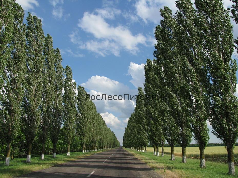 topol_rospesopitomnik (4)
