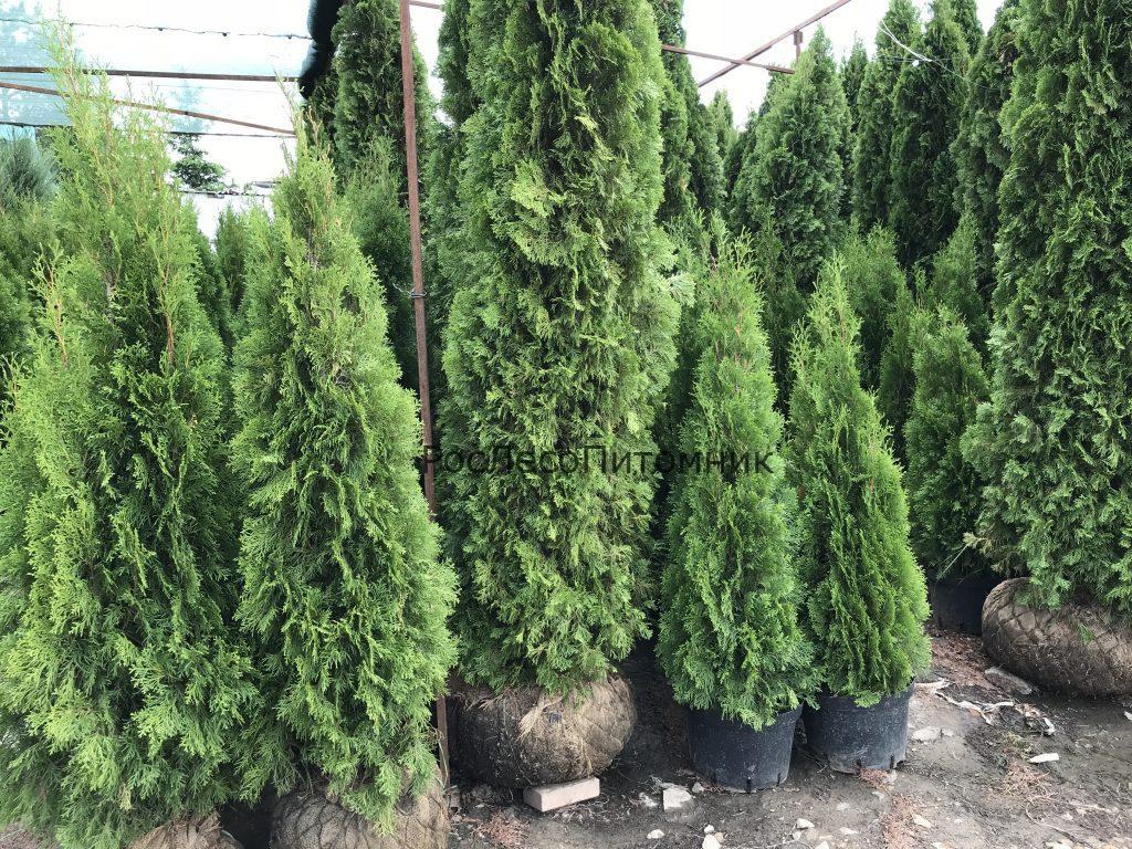 Чем отличаются российские и зарубежные деревья?