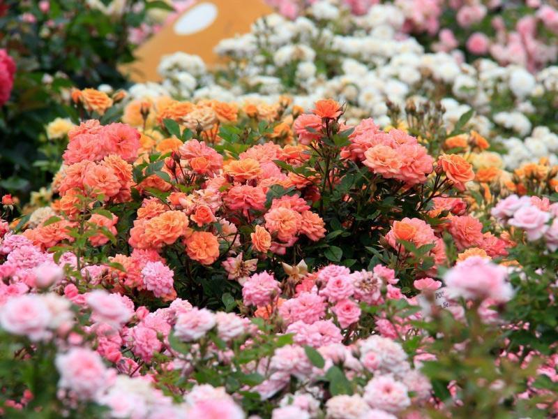Как заложить красивый розарий. Правила посадки роз